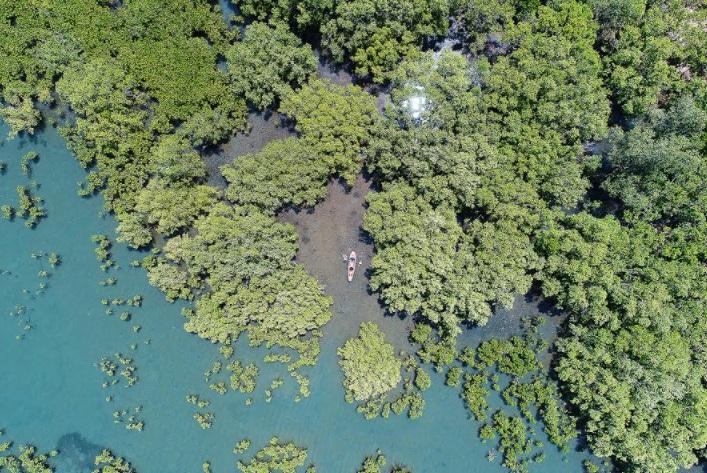 Hamilo Coast's mangrove forest where man and nature live in harmony