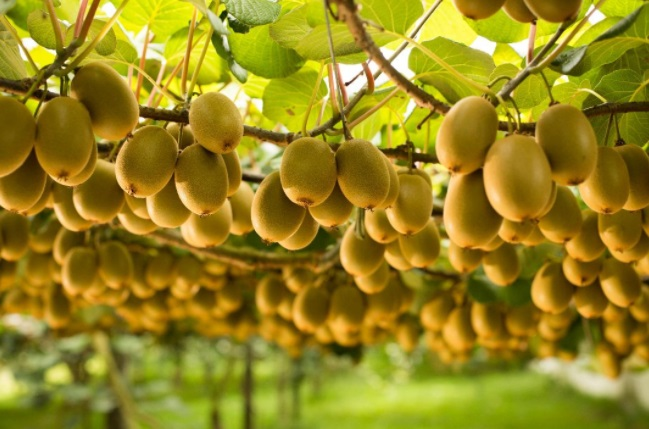 Zespri selects SAP cloud solutions in multi-year deal